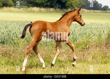 trotting colt - Stock Photo