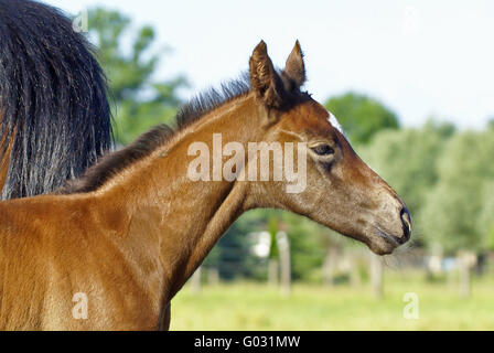 Foal head study - Stock Photo