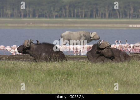 Cape Buffalos and Lesser Flamingos,Lake Nakuru - Stock Photo