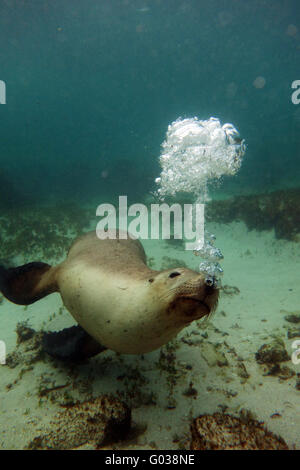 Playful Australian sea lion (Neophoca cinerea) blowing bubbles underwater, Jurien Bay Marine Park, near Cervantes, - Stock Photo