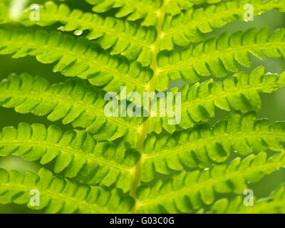 Ostrich fern / Shuttlecock fern / fern - Stock Photo