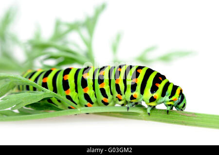 Schwalbenschwanz-Raupe / Swallowtail caterpillar - Stock Photo