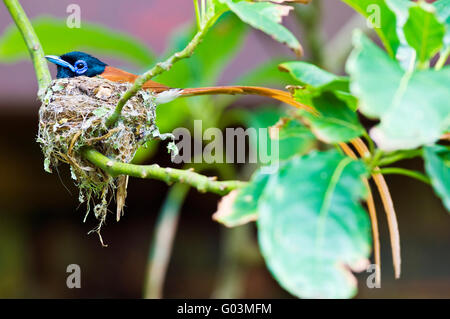 African Paradise Flycatcher Terpsiphone viridis male sitting on it's nest. Image taken near East London, South Africa - Stock Photo