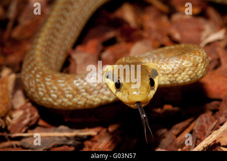 aesculapean Rat Snake - Stock Photo