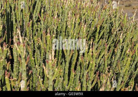 Euphorbia mauretanica, Namaqualand, South Africa - Stock Photo