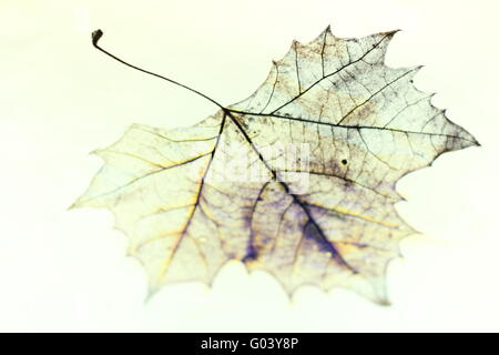Photo of the drawing of a transparent maple leaf in false color with variable depth of field - Stock Photo