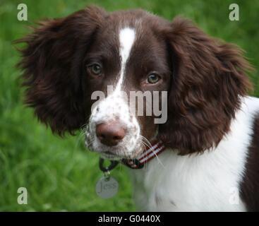 A cute english springer spaniel puppy - Stock Photo