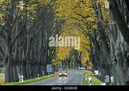 Lime tree avenue, Bad Doberan, district Rostock, Mecklenburg-Vorpommern, Germany - Stock Photo