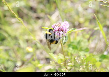 Bumblebee sitting on a clover blossom - Stock Photo