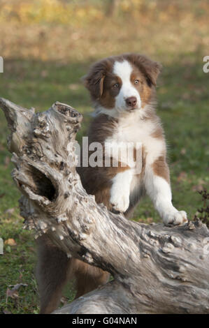 Young Australian Shepherd, Red Tri, on a tree log - Stock Photo