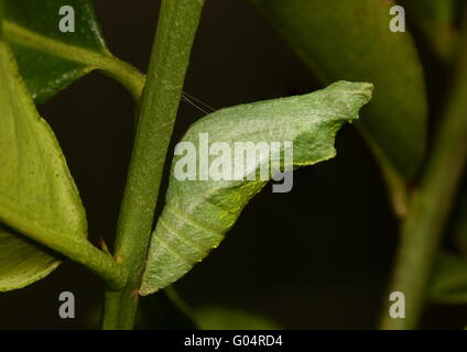 Chrysalis of Common lime butterfly, Papilio demoleus, held firmly in place on a lime tree branch by a single strand - Stock Photo