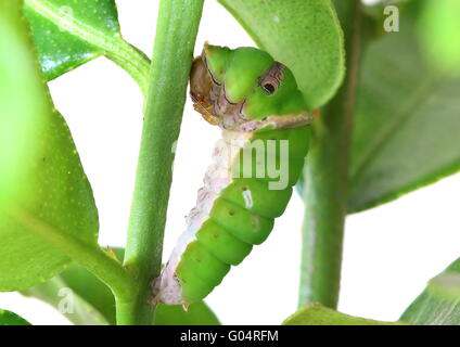 Caterpillar of the common lime butterfly - Papilio demoleus - hanging on a lime tree branch and starting the chrysalis - Stock Photo