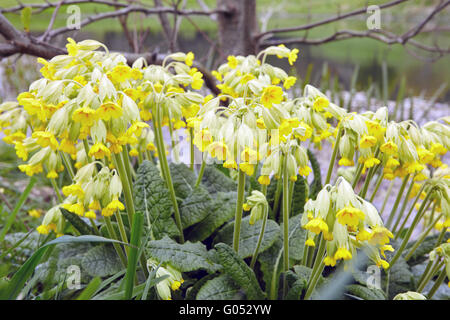 Cowslip flowers growing next to a pond in Wales, UK - Stock Photo
