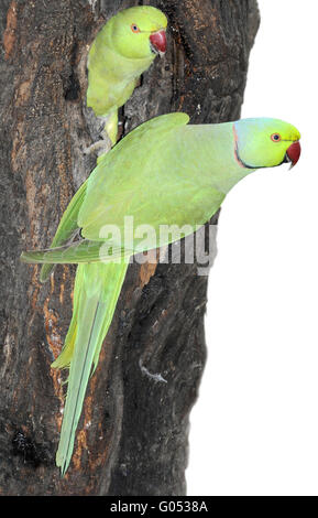 Ring-necked Parakeet - Psittacula krameri - Stock Photo