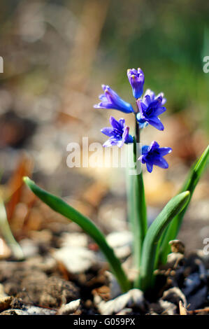 Closeup of Blue muscari flower  in the forest - Stock Photo