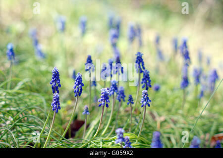 A muscari armeniacum flower or commonly known as grape hyacinth in a spring forest - Stock Photo