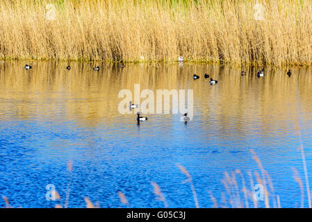 Aythya fuligula or the tufted duck, here seen swimming in a Swedish coastal bay with reeds in the background. Springtime - Stock Photo