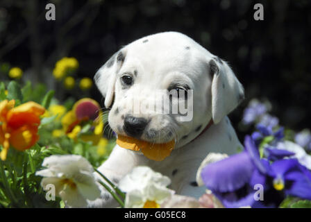 Dalmatian puppy, four weeks old nibbles at pansy - Stock Photo