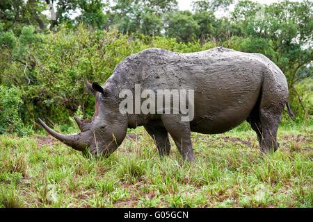 Southern white rhinoceros (Ceratotherium simum), Hluhluwe–Imfolozi Park, KwaZulu-Natal, South Africa - Stock Photo