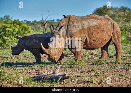 Southern white rhinoceros with young (Ceratotherium simum), Hluhluwe–Imfolozi Park, KwaZulu-Natal, South Africa - Stock Photo