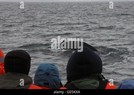 Watching a humpback whale (Megaptera novaeangliae) on a tour on the Skjálfandi Bay near Húsavík - Stock Photo
