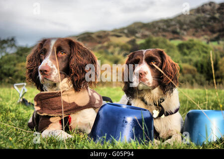 two working english springer spaniels - Stock Photo