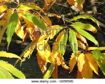 Autumnal leaves of the Cutleaf European Beech - Stock Photo