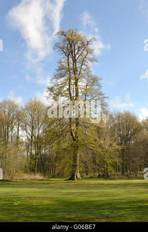 Beech In Spring, Savernake Forest, Wiltshire. Beech Fagus sylvatica - Stock Photo
