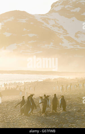 King Penguins (Aptenodytes patagonicus) Sunrise, Salisbury Plain, Bay of Isles, South Georgia - Stock Photo