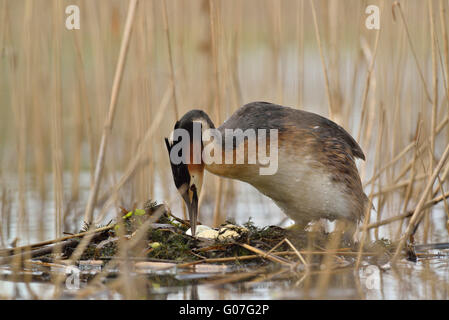 Great Crested Grebe taking care of her eggs in the nest - Stock Photo