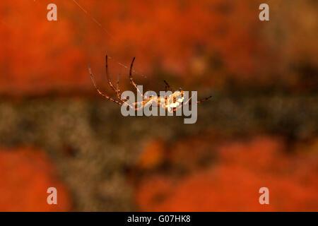 Linyphia Triangularis. Common Hammock Weaver. Linyphiidae. European sheet web  spider. Web spinning spider. - Stock Photo