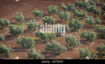 near Villanueva de San Juan, Seville Province, Andalusia, southern Spain.  Agriculture.  Olive groves. - Stock Photo