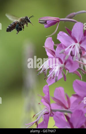 Bee flying to willowherb - Stock Photo