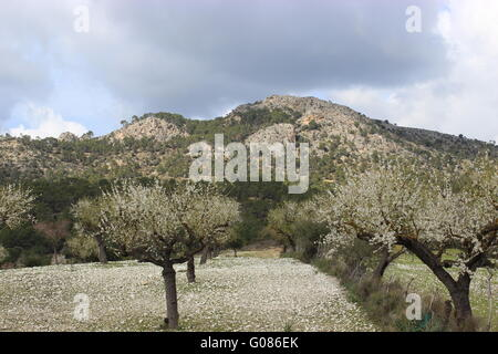 Almond trees at Paguera - Stock Photo