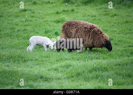 brown ewe lamb with lambs - Stock Photo