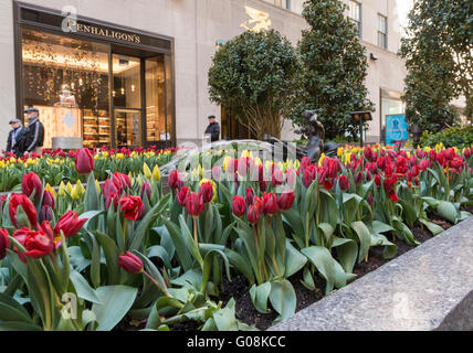 Channel Gardens in Rockefeller Plaza, New York City, with colourful flowering tulips around the water fountains - Stock Photo