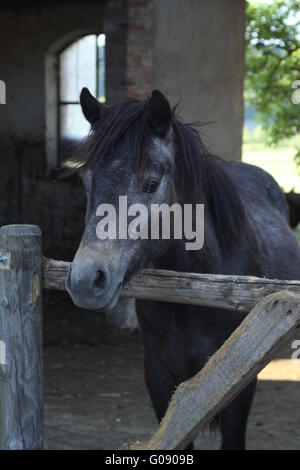 Connemarapony foal - Stock Photo