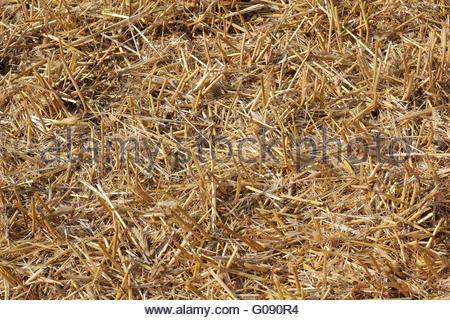 Stubble on a harvested cornfield - Stock Photo