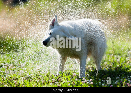 Cute dog shaking itself dry in a spray of water - Stock Photo