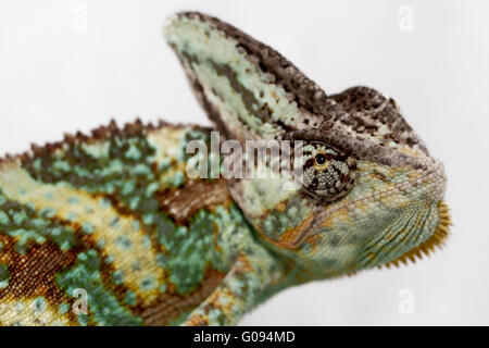 A veiled chameleon is staring at the camera (Chamaeleo calyptratus) - Stock Photo