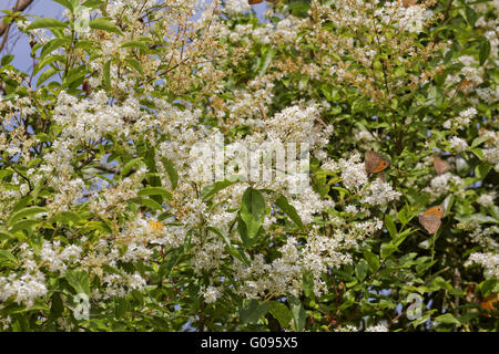 Ligustrum vulgare, Common Privet with butterflies - Stock Photo