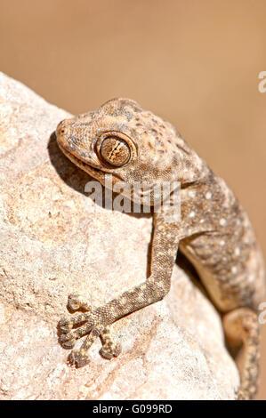 Gecko hugging rock