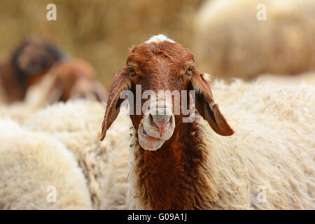 Funny sheep portrait - Stock Photo