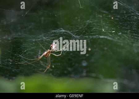 money spiders - sheet weavers - Stock Photo