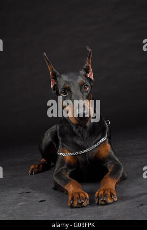 Doberman Pinscher portrait on black. Studio shot of female dog. - Stock Photo