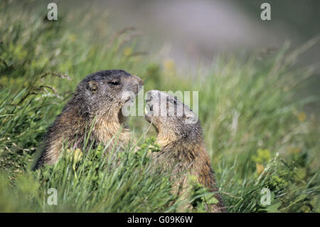 Young Alpine Marmots playfully fighting - Stock Photo