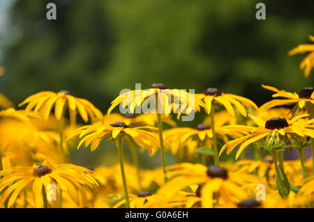 yellow coneflower - Stock Photo