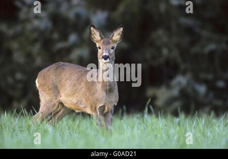 Roe Deer doe looking towards to the photographer - Stock Photo