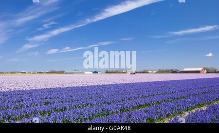 Flower Field in Lisse,Netherlands - Stock Photo