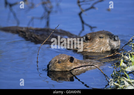 Adult American Beaver and kit feeding branches - Stock Photo